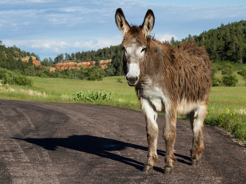 Wild burro, Custer State Park