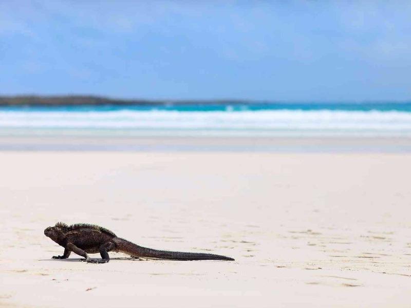 iguana on Galapagos Beach, Tortugas Bay