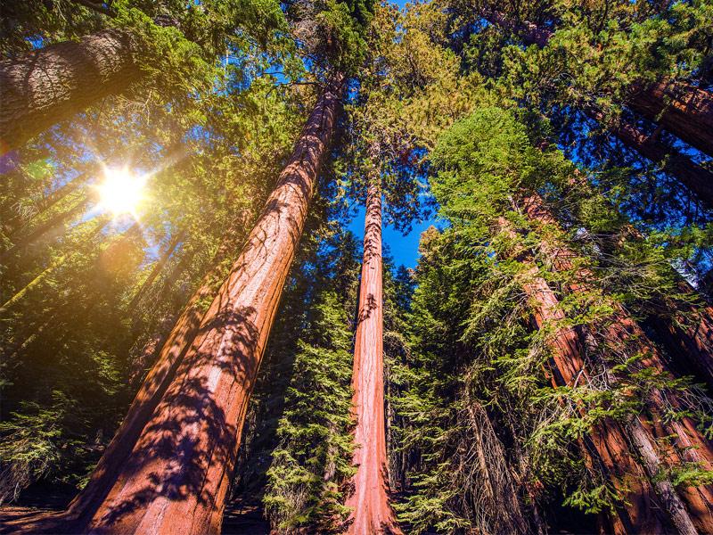 الغابة العملاقة كاليفورنيا