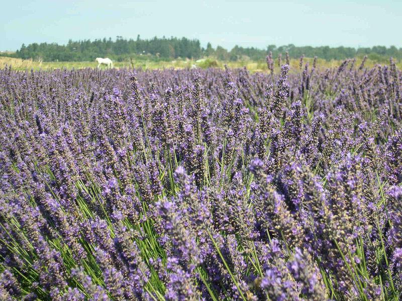 Purple Haze Lavender Farm, Sequim