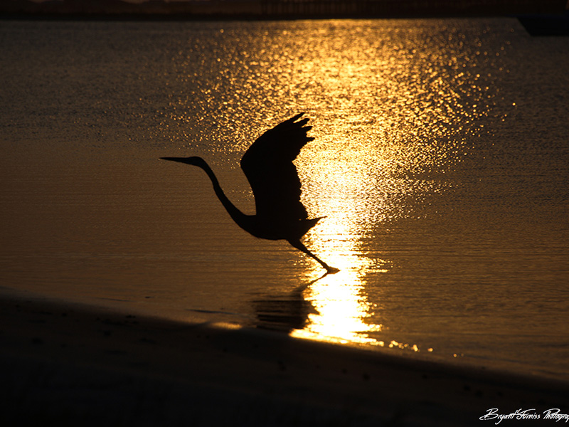 Heron silhouette, Dauphin Island