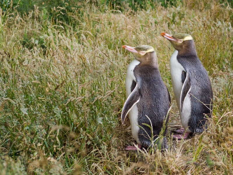 rare yellow-eyed penguins, Stewart Island