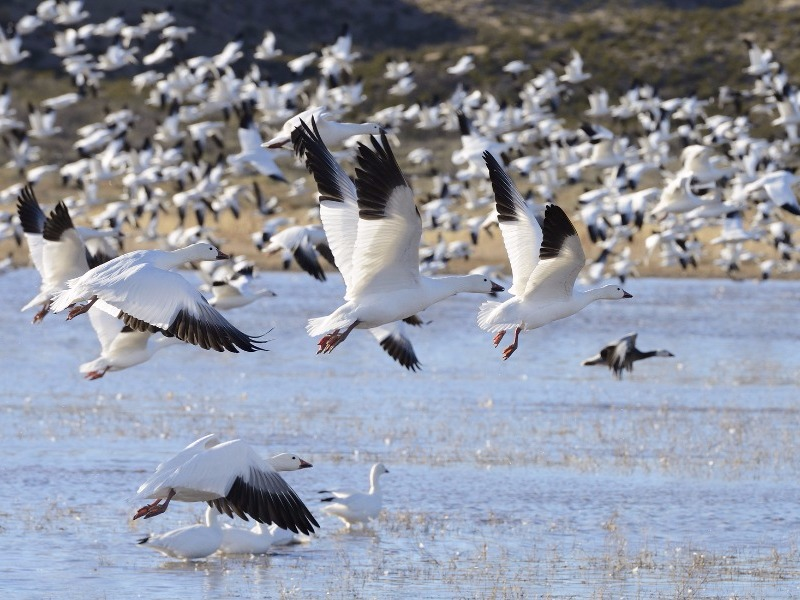 snow geese at Bosque del Apache Wildlife Reserve