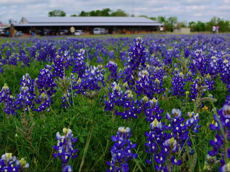 7 Best Places In Texas To View Wildflowers This Spring Tripstodiscover
