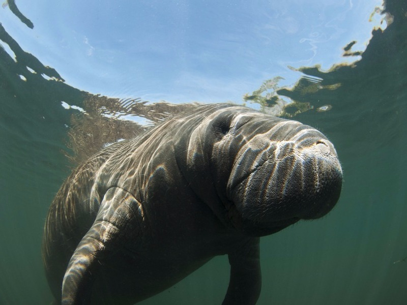 11 Best Places In Florida To See Manatees In 2019 With