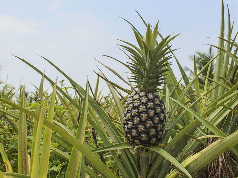 Pineapple Factory Tour Maui