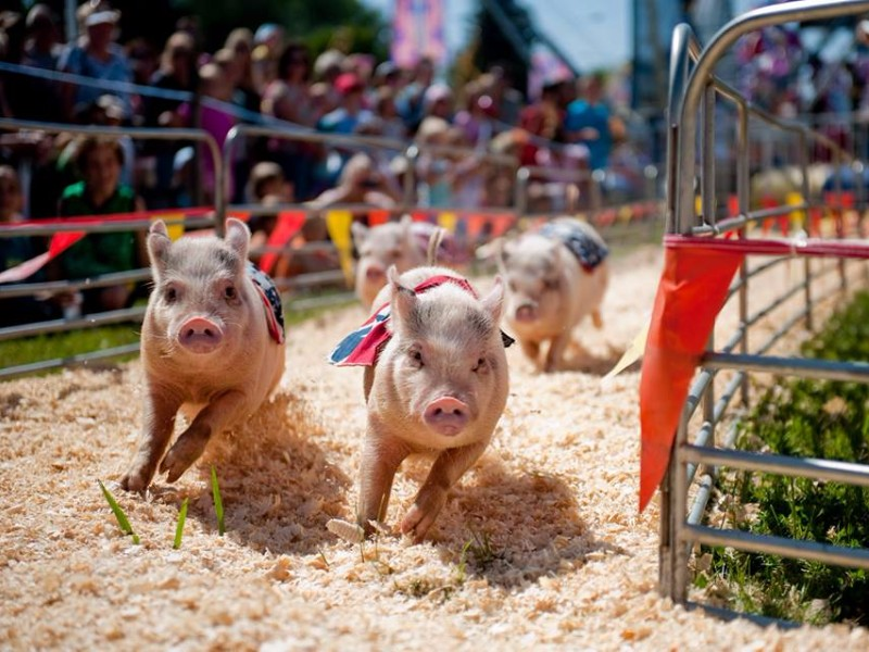 Image result for central florida fair pig race