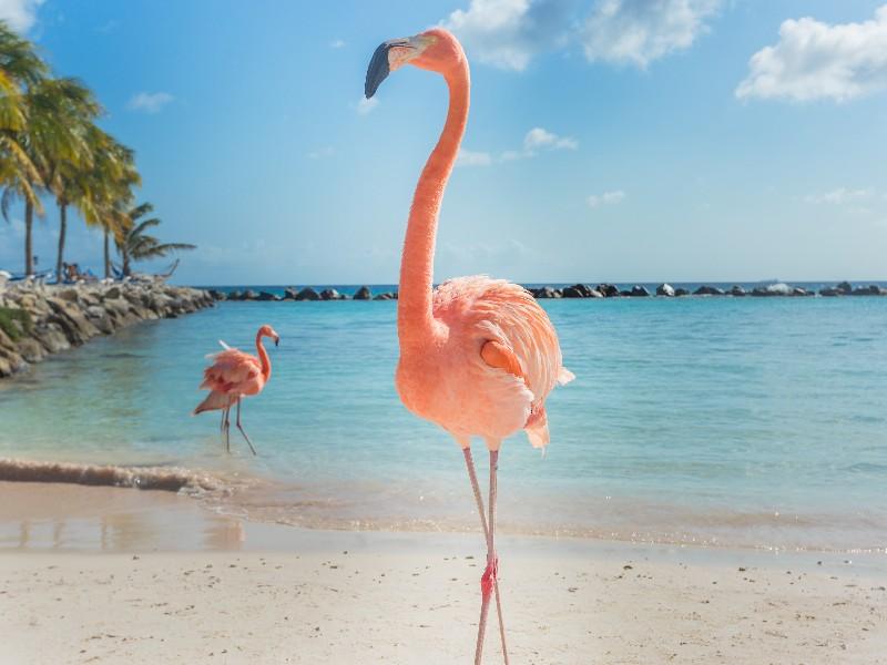 Feed The Flamingos On Beach Aruba