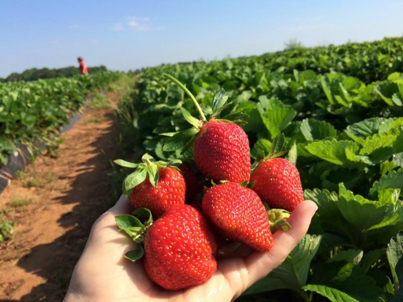 9 Best You-Pick Fruit Farms in Georgia - TripsToDiscover