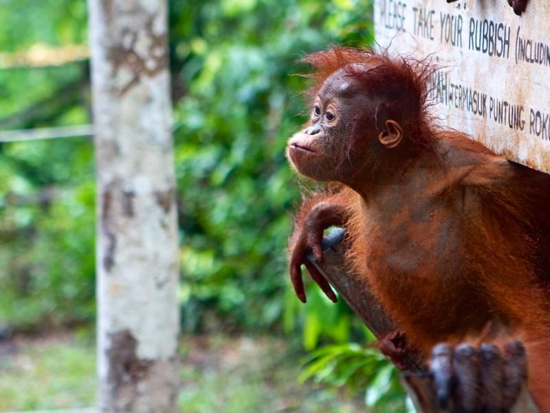 Baby orangutan at Camp Leakey, Borneo