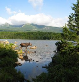 Moose in a Lake at Baxter State Park